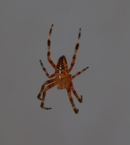 Orange spider with black and white striped legs. Strong web. - Araneus diadematus