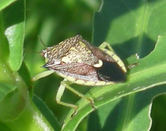 Podisus mucronatus - Conquistator mucronatus