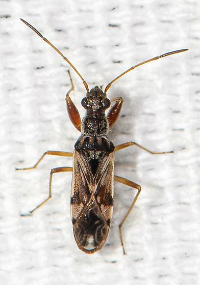 Dirt-colored Seed Bug - Neopamera bilobata