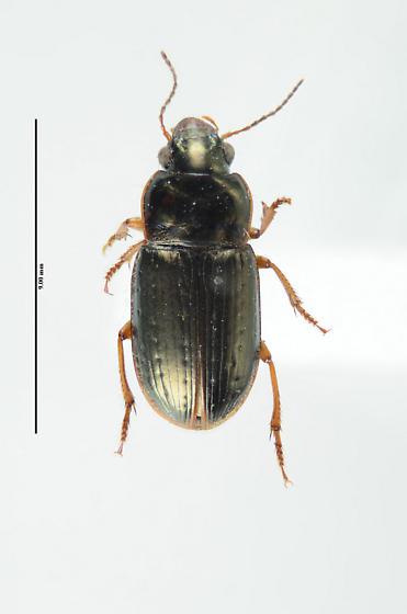 Another Carabid... - Selenophorus palliatus