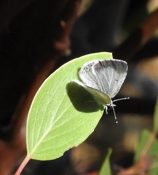 Butterfly Puzzler: What's light gray and lives in the Sierras, and isn't a hairstreak? - Celastrina echo