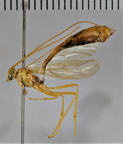 E. guatamalensis - Enicospilus guatemalensis - female