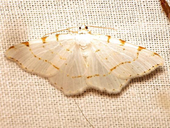 Speranza pustularia? - Macaria pustularia - female