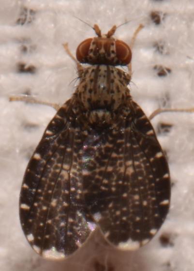 Tephritidae 230 - Trypetisoma sticticum - male