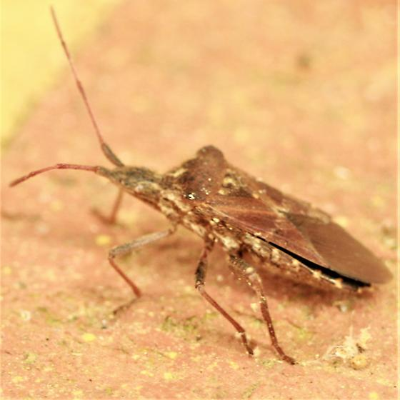 Leaf-footed Pine Seed Bug - Lateral - Leptoglossus corculus
