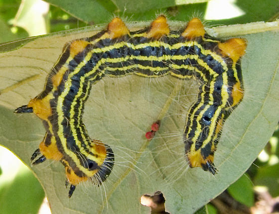 Yellow-necked Caterpillar Moth 1 - Datana ministra - BugGuide Net