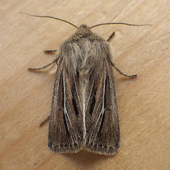 Noctuidae: Hypocoena basistriga? - Hypocoena basistriga