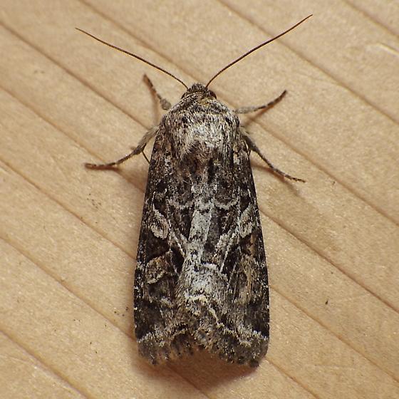 Noctuidae: Trichordestra lilacina - Trichordestra lilacina