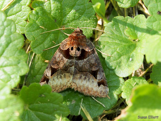 Toothed Somberwing - Euclidia cuspidea