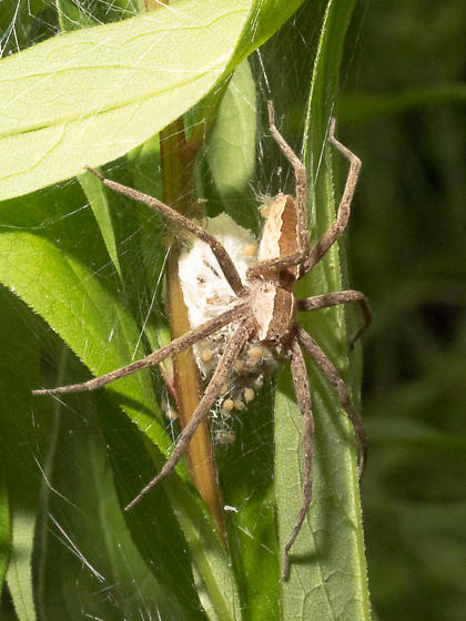 Lynx Spider species? - Pisaurina mira