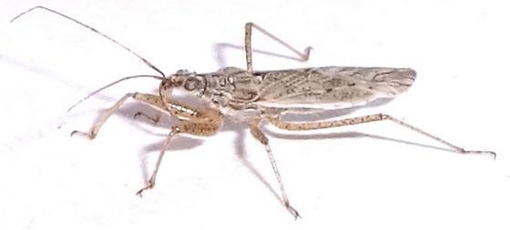 Assassin Bug - Nabis