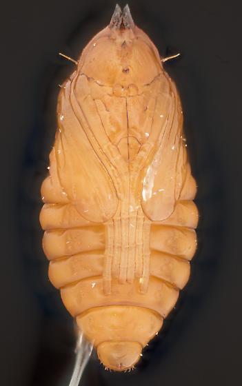 Pupa, ventral - Asphondylia neomexicana