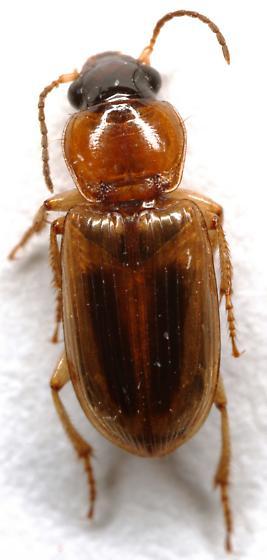 Seedcorn Beetle? - Stenolophus comma