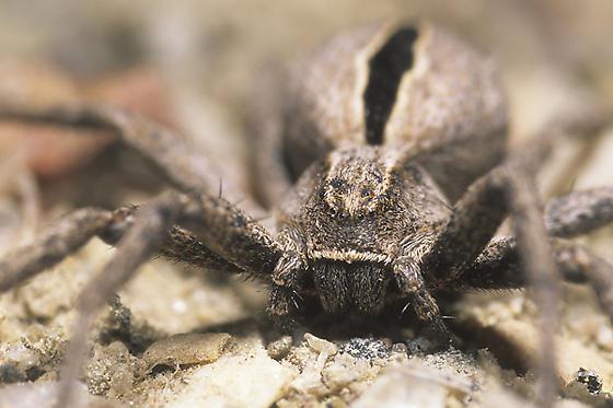 Thanatus Crab Spider - Thanatus - female