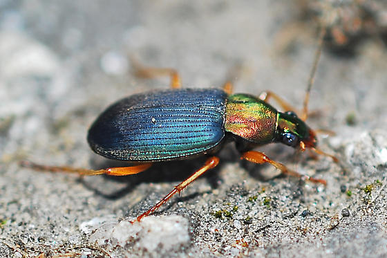 unknown beetle - Chlaenius tricolor
