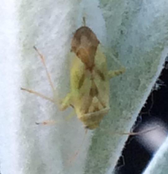 Plant bug - Taylorilygus apicalis