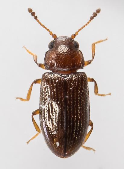 Loberus impressus - female