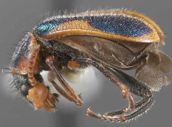 Collops marginellus - male