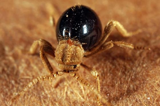 Shiny Spider Beetle - Mezium affine