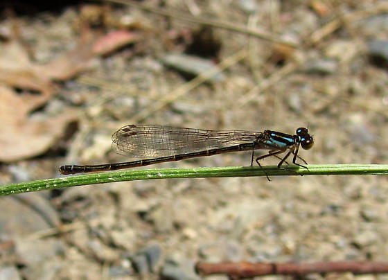 Damselfly - Ischnura posita - female
