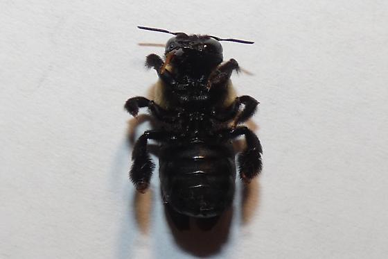Xylocopa virginica - female