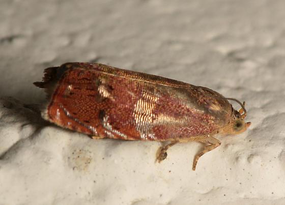 Moth for ID - Cydia latiferreana