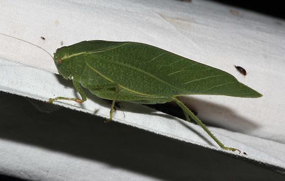 Angle-wing Katydid - Microcentrum