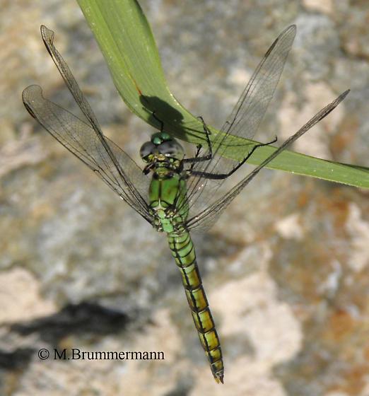 Dragonfly - Erythemis collocata