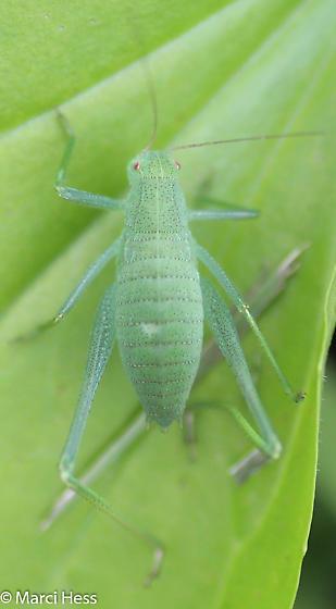 Amblycorypha sp - Amblycorypha