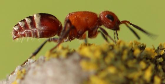 red ant with white abdominal markings