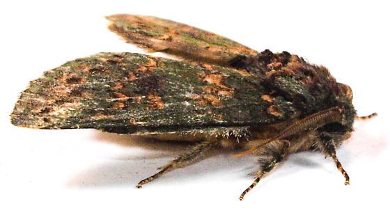 Wavy Lined Heterocampa Hodges #7995 - Heterocampa biundata