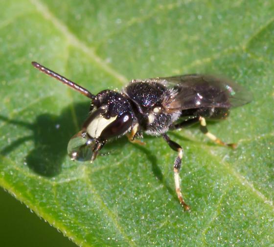 Hylaeus Bee - Hylaeus hyalinatus - male