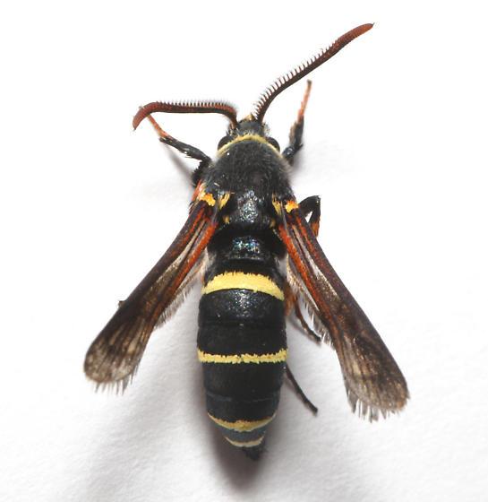 Sesiidae, Dusky Clearwing, dorsal - Paranthrene tabaniformis