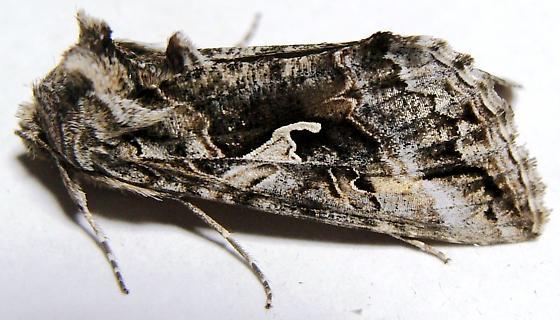 Owlet Moth - Alfalfa Looper - Autographa californica