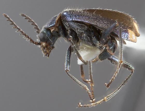 Malachius biguttulus - female