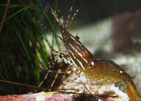 Spot Prawn - Pandalus platyceros - Pandalus platyceros