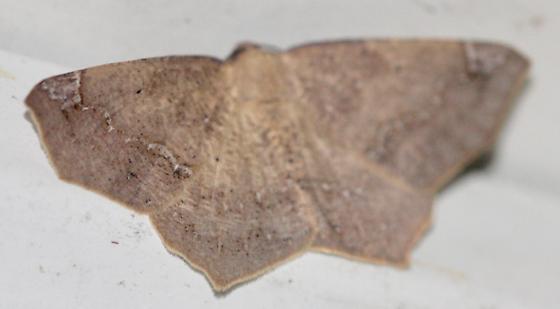 Antepione thisoaria? - Antepione thisoaria