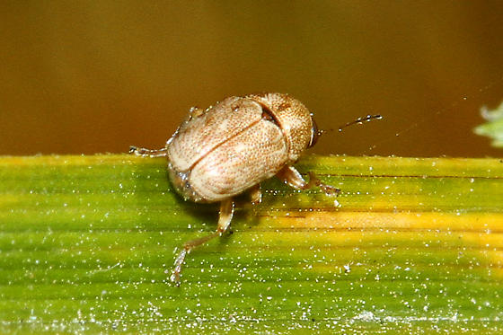 Tiny scarab beetle - Pachybrachis