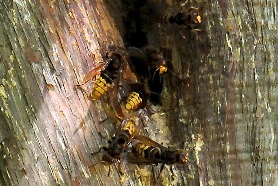 nest of european hornets vespa crabro bugguidenet