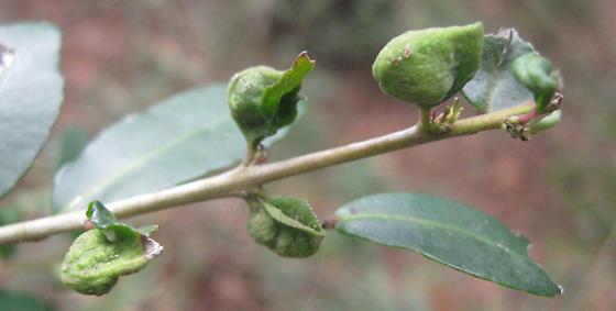Yaupon leaf gall - Gyropsylla ilecis