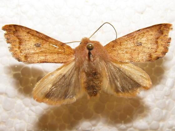 Noctuid Moth - Sunira verberata