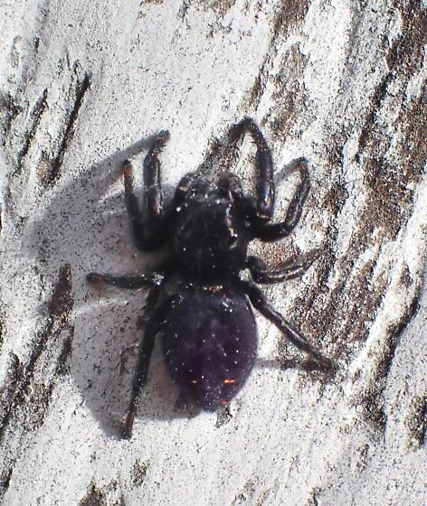 All black jumping spider - Phidippus