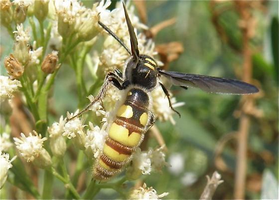 Scoliid Wasp? - Colpa pollenifera - male