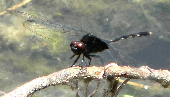 Black dragonfly with dark red eyes - Pin-tailed Pondhawk (male) - Erythemis plebeja   - Erythemis plebeja