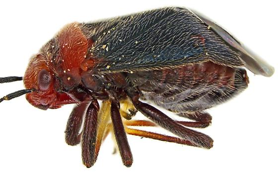 Female, Yucca Plant Bug? - Halticotoma valida - female