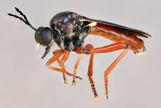 Myelaphus melas - male