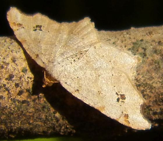 moth 031916 - Macaria