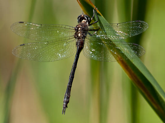 Female Emerald Dragonfly  - Somatochlora tenebrosa - female