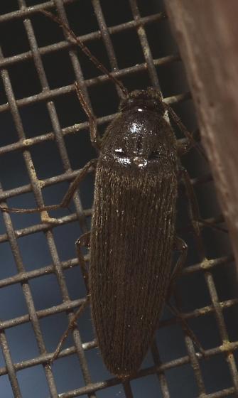 Unknown beetle - Synchroa punctata