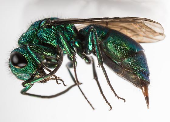 Cuckoo Wasp - Chrysura - female
